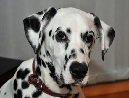 Pippin the Fairydean Dalmatian